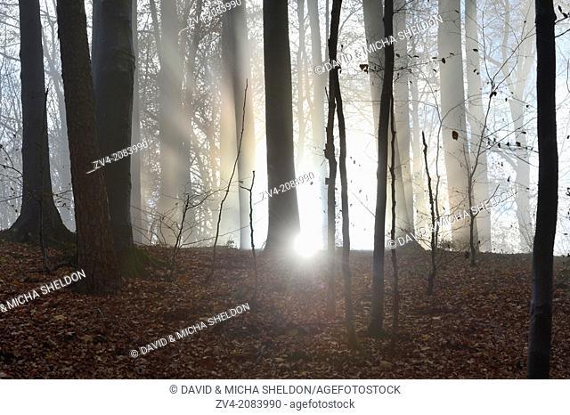 Landscape of European beeches (Fagus sylvatica) tree trunks in fog in autumn