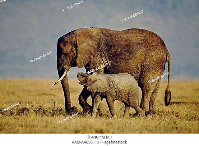 Playful African elephant calf walking alongside mother (Loxodonta africana) Maasai Mara National Reserve, Kenya