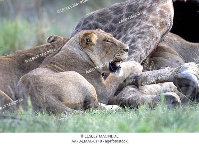 Lioness with kill, Kruger National Park