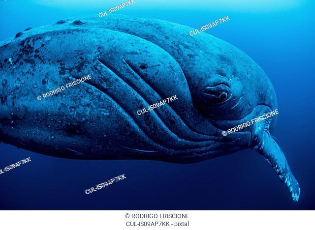 Curious female humpback whale, closeup, Roca Partida, Revillagigedo, Mexico