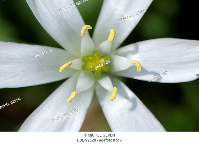 Detailed macro of the flower of Star of Bethlehem