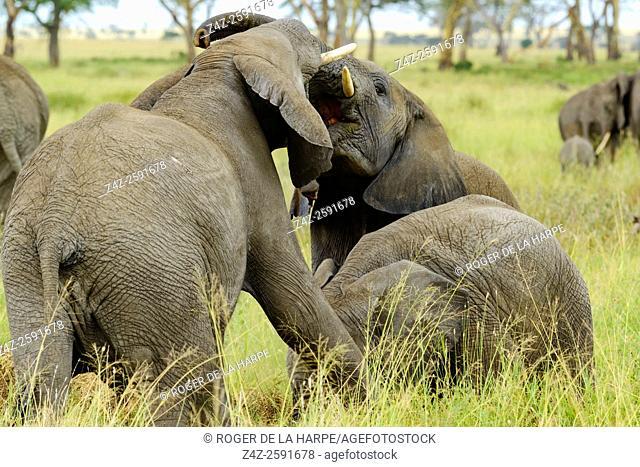 African bush elephant (Loxodonta africana) interacting. Serengeti National Park. Tanzania