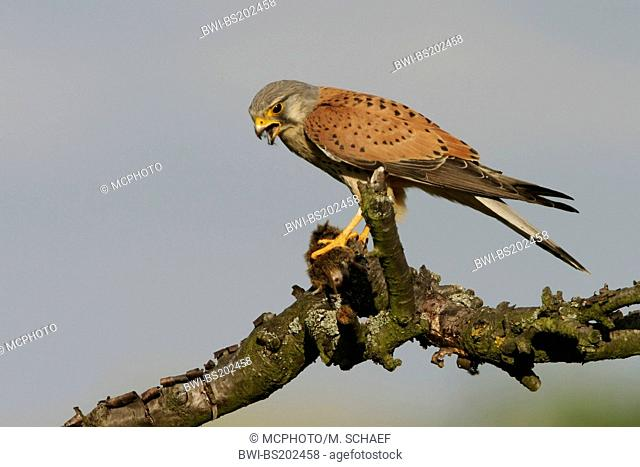 common kestrel (Falco tinnunculus), feeding prey on a branch, Germany, Rhineland-Palatinate