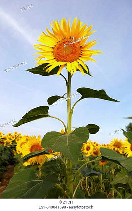 Austria Grimming 14-07-2013 The sunflower with the blue sky in background