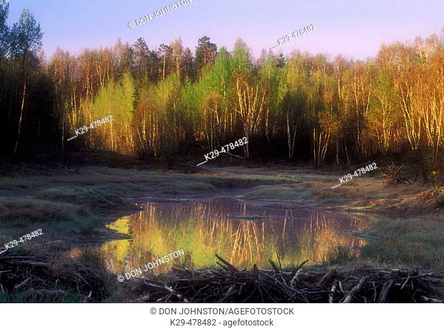 Beaver pond with reflections of new foliage on sunlit birch trees. Sudbury. Ontario, Canada