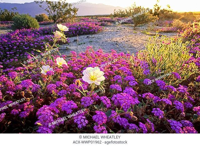 Evening primrose and pink sand verbena, Anza Borrego State Park, California, USA