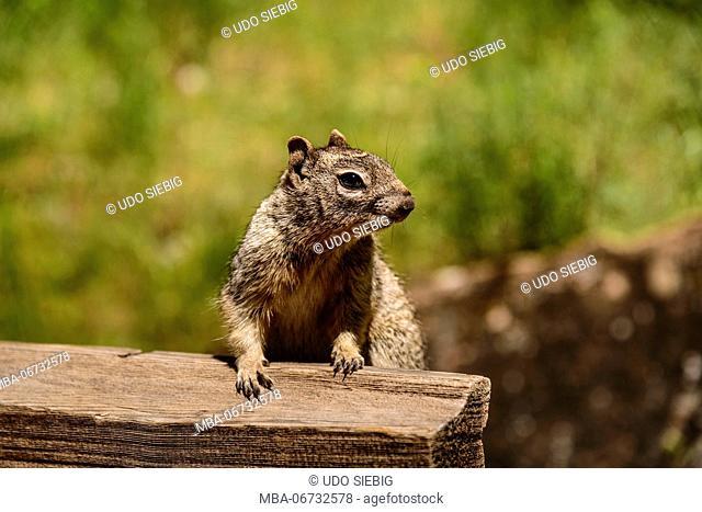 The USA, Utah, Washington county, Springdale, Zion National Park, Zion canyon, rock Squirrel, rock squirrel