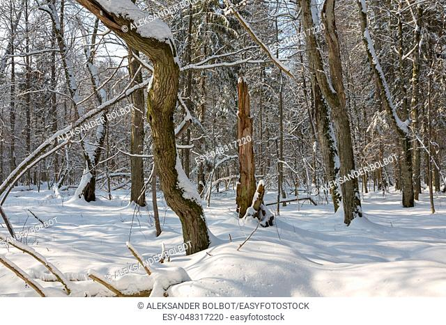Snowfall after deciduous stand in morning with snow wrapped trees and old linden in foreground, Bialowieza Forest, Poland, Europe