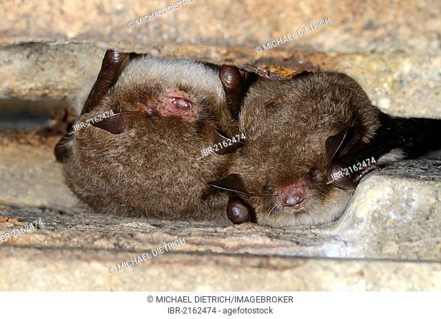 Daubenton's Bats (Myotis daubentoni), species in Annex IV of the Habitats Directive, in winter quarters, hibernating in a tunnel, Topor, Kiel
