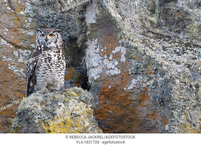 Abyssinian Owl perched on a rock