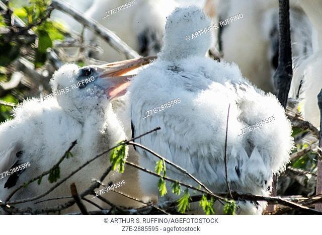 """""""""""Sibling banter. """" Wood stork chicks in nest. Florida, USA"