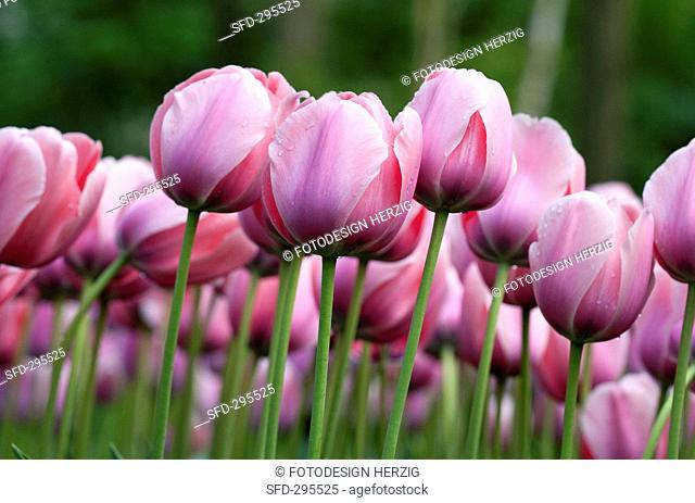 A bed of pink tulips cultivar: Salmon