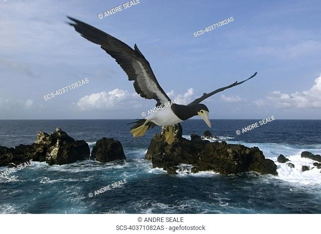 Brown booby, Sula leucogaster, flying, St Peter and St Paul's rocks, Brazil, Atlantic Ocean