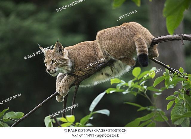 Adult Eurasian Lynx / Eurasischer Luchs (Lynx lynx) rests on a pretty thin branch, looks alert