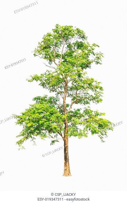 Pterocarpus indicus known by several common names, including Amb