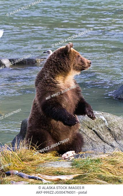 Sub-adult Brown Bear sitting on hind feet and eating salmon, Chilkoot River, Haines, Southeast Alaska, Autumn
