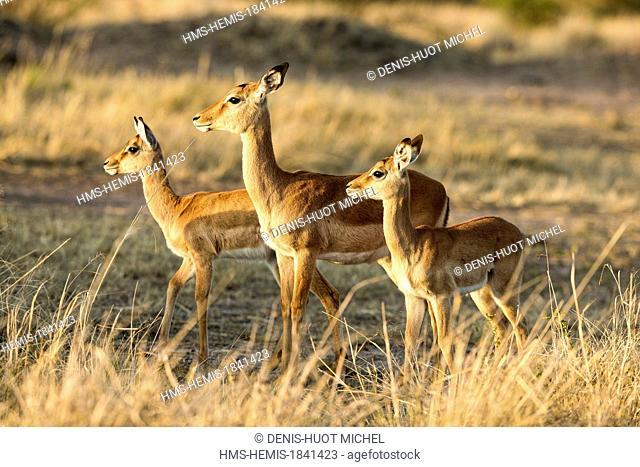 Kenya, Masai-Mara game reserve, Impala (Aepyceros melampus), young ones
