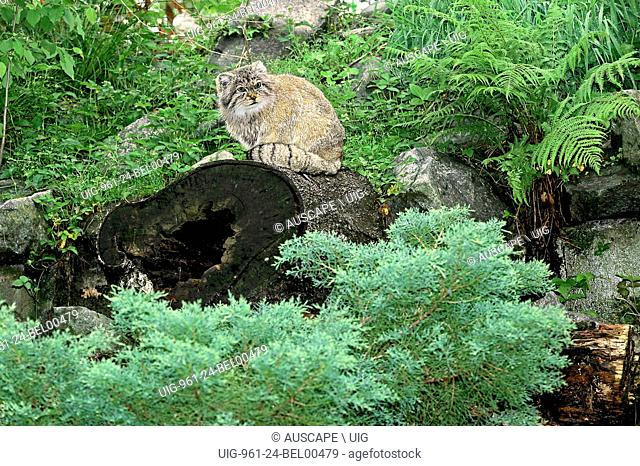 Pallas cat, Otocolobus manul, an endangered species. Khar Turan National Park, Semnan Province, Iran. (Photo by: Auscape/UIG)
