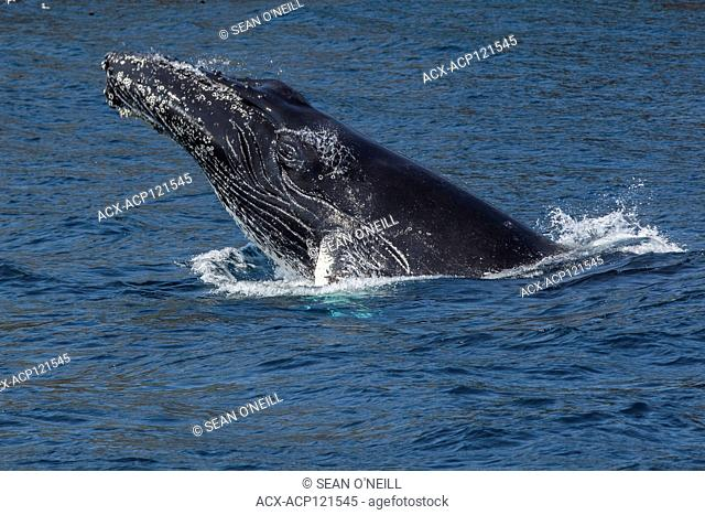 Humpback Whale breaching, Witless bay Ecological reserve, Newfoundland, Canada