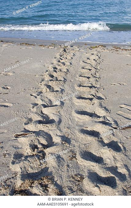Sea Turtle Tracks leading from a newly made nest back to the Sea. Volunteers use the distinctive 'turtle crawl' trails to locate nests and mark them with...