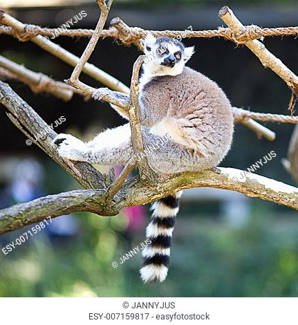 lemur sitting on the branches at the zoo
