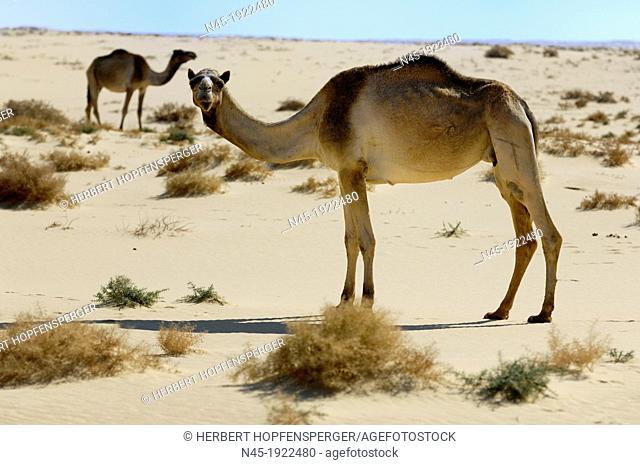 Camel; Camelus Dromedarius; Egypt Desert; Egypt