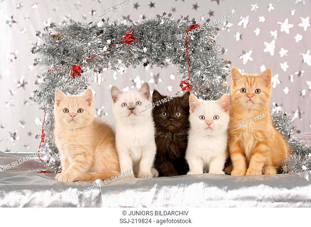 British Shorthair. Five kittens surrounded by a silver garland. Germany