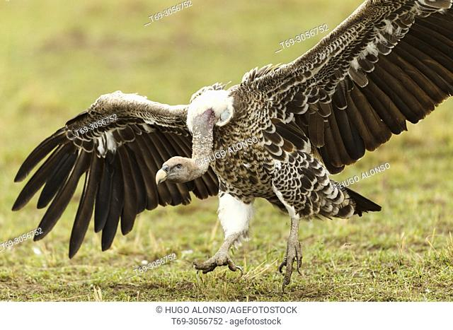 Rüppell's vulture or Rüppell's griffon vulture. Gyps rueppelli. Kenia. Africa