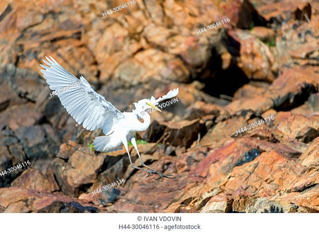 Little egret (Egretta garzetta), Tanzania, East Africa
