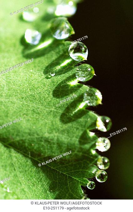 Drops on leaf edge