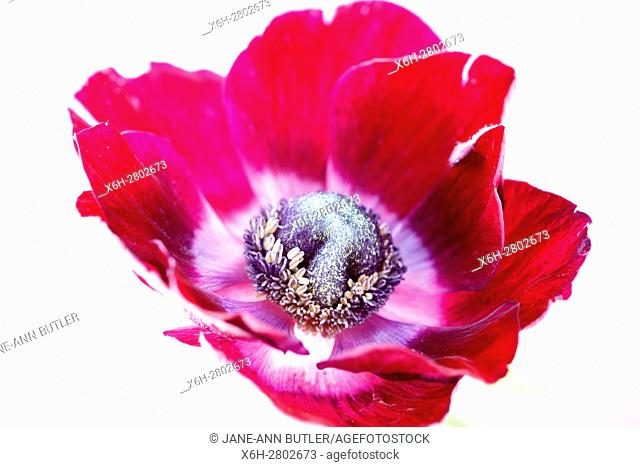 a single red anemone flower on white still life - fresh and contemporary