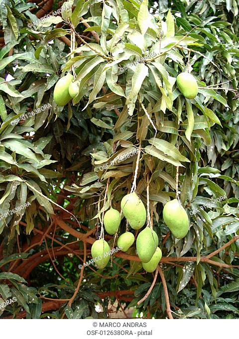 some mangoes fruits on tree
