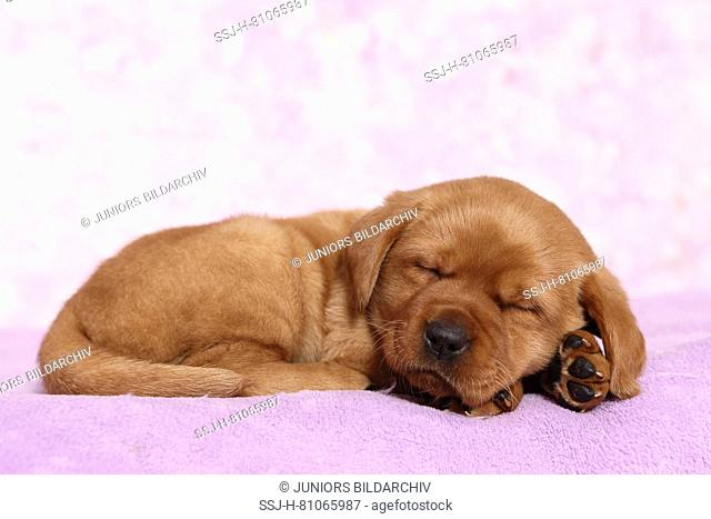 Labrador Retriever. Puppy (6 weeks old) sleeping on a blanket. Studio picture seen against a pink background. Germany