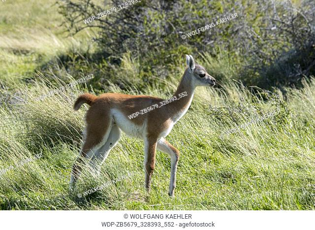 A baby (chulengo) guanaco (Lama guanicoe) is walking through the grass in Torres del Paine National Park in southern Chile