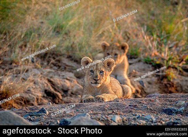 Two Lion cubs laying in a dry riverbed in the Pilanesberg National Park, South Africa