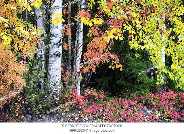 Autumn colours in Carelia, birches, rowans and blueberries, Finland