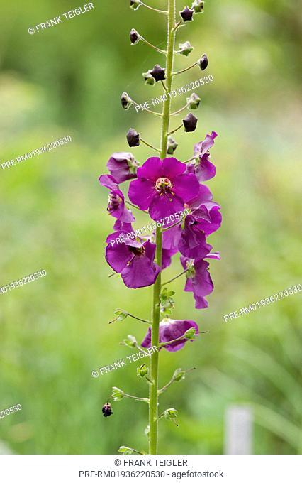 Purple mullein, Verbascum phoeniceum / Violette Königskerze, Verbascum phoeniceum
