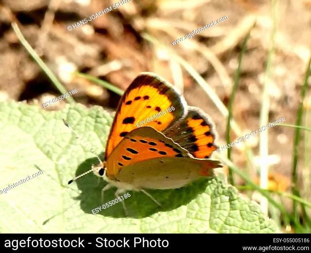 small copper butterfly on a leaf