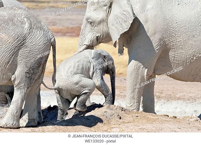 African elephant baby (Loxodonta africana), covered with mud, getting out of the water, in the sight of his mother, at Newbroni waterhole, Etosha National Park