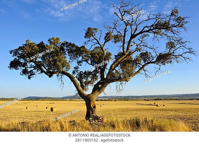 Oaks Quercus ilex and cereal field Almansa Albacete