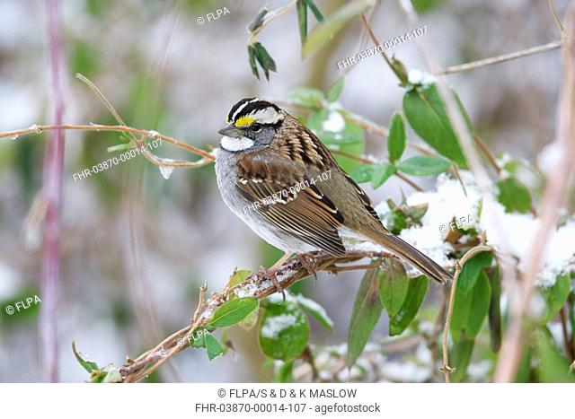 White-throated Sparrow Zonotrichia albicollis adult, perched on honeysuckle in snow, U S A , winter