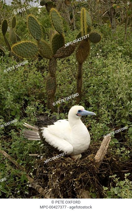 Red-footed Booby (Sula sula) incubating egg on nest, Wolf Island, Galapagos Islands, Ecuador