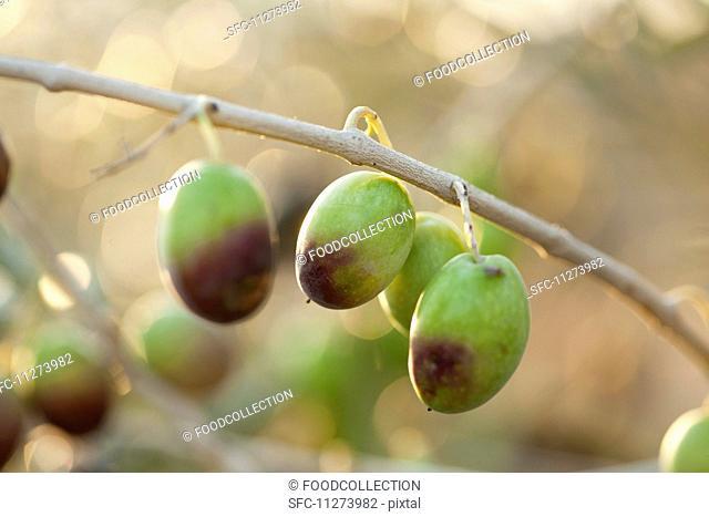 Semi-ripe olives hanging on a sprig
