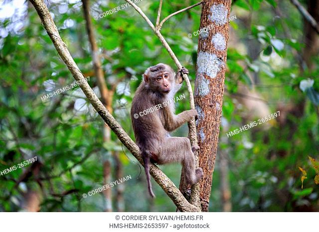 India, Tripura state, Northern pig-tailed macaque (Macaca leonina)