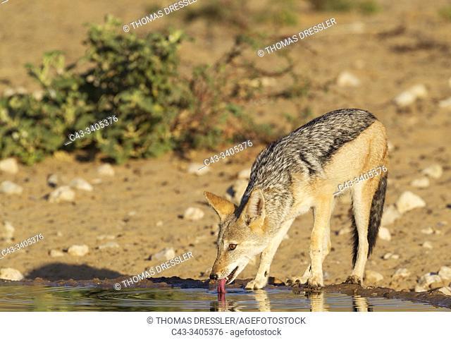 Black-backed Jackal (Canis mesomelas). Drinking at a waterhole. Kalahari Desert, Kgalagadi Transfrontier Park, South Africa