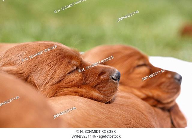 Irish Red Setter, Irish Setter (Canis lupus f. familiaris), two puppies sleeping on the back of their sibbling