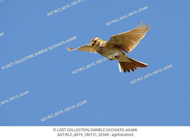 Eurasian Skylark in song flight, Eurasian Skylark, Alauda arvensis
