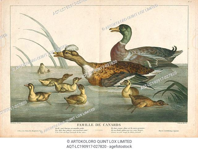Anas boschas, Print, The mallard (Anas platyrhynchos) is a dabbling duck that breeds throughout the temperate and subtropical Americas, Eurasia