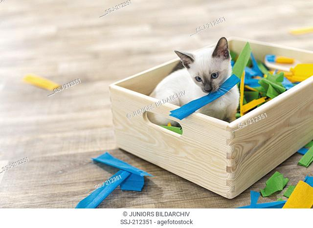 Siamese Cat. Kitten playing in a box filled with paper. Germany. Restriction: Not for guide books for pet care until 9/2018