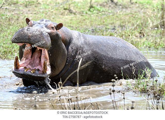 Hippopotamus yawning (Hippopotamus amphibius) Akagera National Park, Rwanda